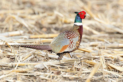 Photograph - Pheasant by Steve Javorsky