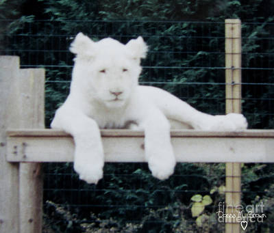 Photograph - Philadelphia Zoo White Lion by Donna Brown