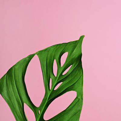 Photograph - Philodendron Leaf On Pink by Juj Winn
