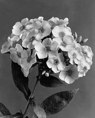 Black And White Photograph - Phlox Blossoms by J. Horace McFarland