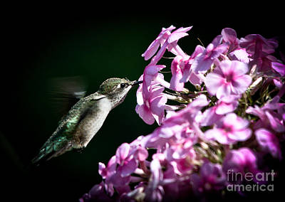 Photograph - Phlox Feeder by Cheryl Baxter