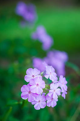 Photograph - Phlox In Bloom by Andy Crawford