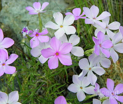 Photograph - Phlox by KD Johnson