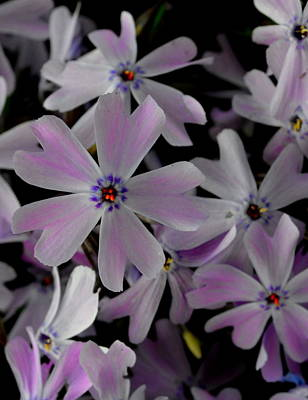 Photograph - Phlox- Limited Edition 1 Of 10 by Rae Ann  M Garrett