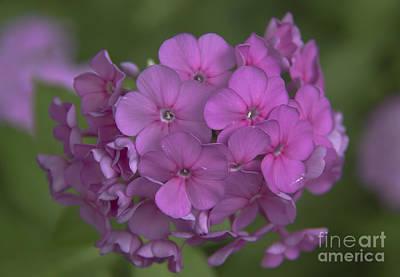Phlox Paniculata Photograph - Phlox Nicky by Teresa Mucha
