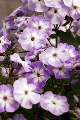 Phlox Photograph - Phlox Paniculata 'grey Lady' by Adrian Thomas