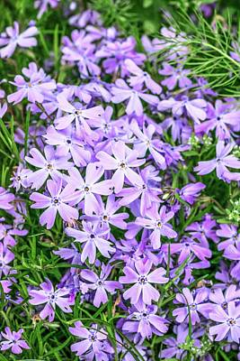 Phlox Subulata 'blue Eyes' Flowers Art Print by Brian Gadsby