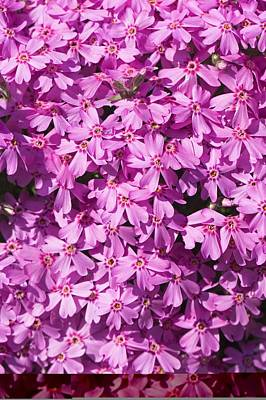 Phlox Subulata 'marjorie' Art Print by Science Photo Library