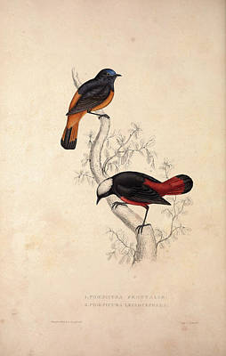 Exotic Drawing - Phoenicura Frontalis, Phoenicura Leucocephala. Birds by Quint Lox