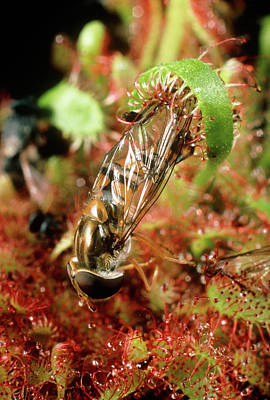Hoverfly Wall Art - Photograph - Photo Of A Hoverfly Trapped By A Cape Sundew by Dr Jeremy Burgess/science Photo Library