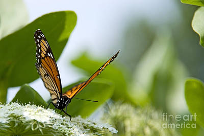 Butterfly Close Up Photograph - Photo Of Monarch Butterfly On A Flower by Paul Velgos
