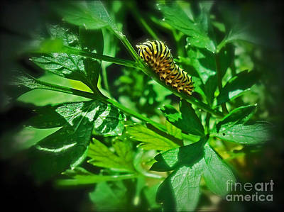 Photograph - Macro Monarch Caterpillar  by Femina Photo Art By Maggie