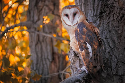 Copyright 2013 By Mike Berenson Photograph - Photographing A Barn Owl On His Autumn Perch by Mike Berenson