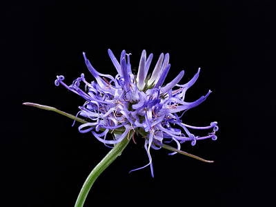 Photograph - Phyteuma Balbisii by Paul Gulliver