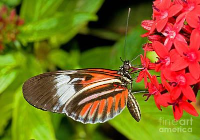 Piano Key Butterfly Photograph - Piano Key Butterfly by Millard H. Sharp