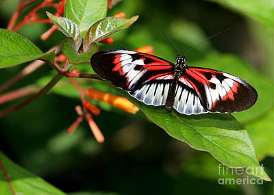 Delray Beach Photograph - Piano Key Butterfly On Fire Bush by Sabrina L Ryan