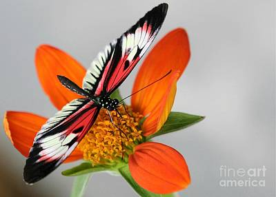 Piano Key Butterfly Up Close Art Print