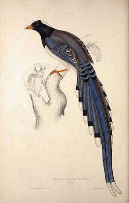 Exotic Drawing - Pica Erythrorhyncha. Birds From The Himalaya Mountains by Quint Lox