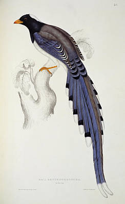 Corvidae Painting - Pica Erythrorhyncha, From A Century Of Birds From The Himalaya Mountains by Elizabeth Gould