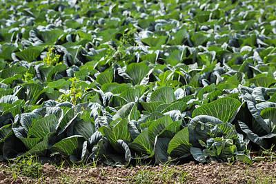 Pick Your Lettuce Original by George Kenhan