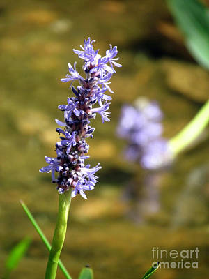 Pickerel Weed Art Print