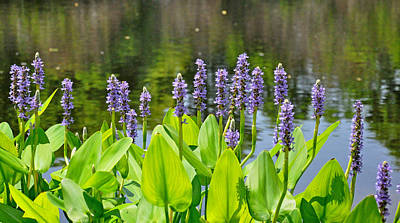 Photograph - Pickerel Weed Flower by John Black