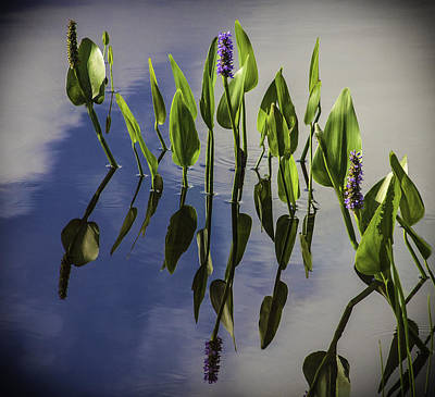 Photograph - Pickerel Weed Vignetted In Black by Karen Stephenson