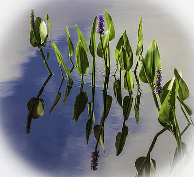 Photograph - Pickerel Weed Vignetted In White by Karen Stephenson