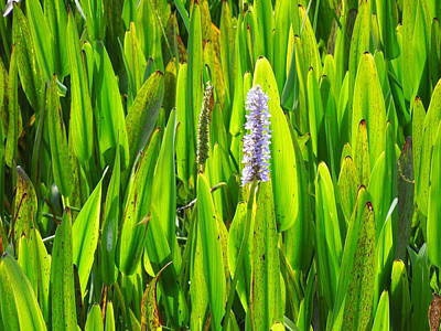 Pickerel Weeds Original by Ron Davidson