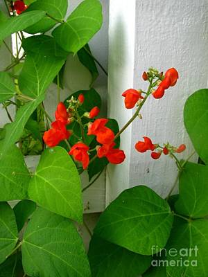 Oregon Illinois Photograph - Picket Fence Runner Beans by Margaret Newcomb