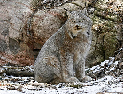 Picture Perfect Lynx In The Snow Art Print
