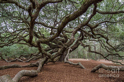 Photograph - Picturesque Angel Oak Tree by Dale Powell