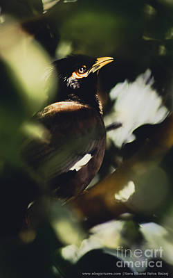 Common Myna Photograph - Picturesque Eye  by NBS Pictures