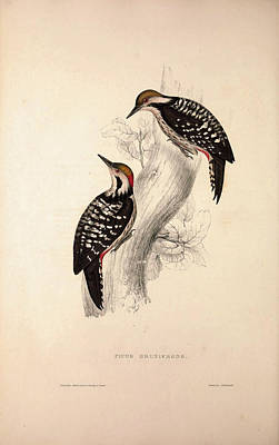 Exotic Drawing - Picus Brunifrons. Birds From The Himalaya Mountains by Quint Lox