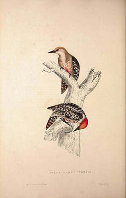 Asian Artist Drawing - Picus Mahrattensis, Yellow-fronted Tied Woodpecker. Birds by Quint Lox
