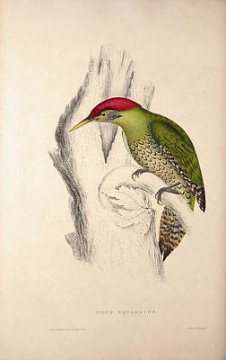 Asian Artist Drawing - Picus Squamatus, Scaly-bellied Woodpecker. Birds by Quint Lox