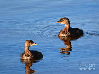 Photograph - Pie Billed Grebe Couple by Kathy Baccari