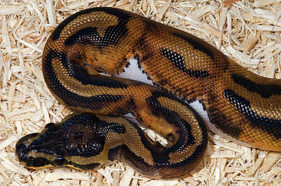 Ball Python Photograph - Piebald Royal Python by Nigel Downer