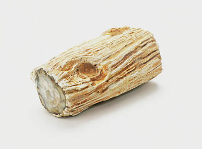 Petrified Wood Photograph - Piece Of Fossilized Wood by Dorling Kindersley/uig