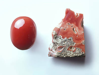 Cabochon Photograph - Piece Of Red Coral And Red Coral Cabochon by Dorling Kindersley/uig