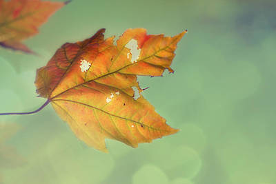 Maple Leaf Art Photograph - Pieces Of Me by Amy Tyler