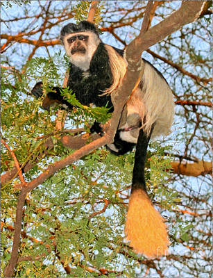 Safari Digital Art - Pied Colobus Monkey Colobus Guereza by Liz Leyden