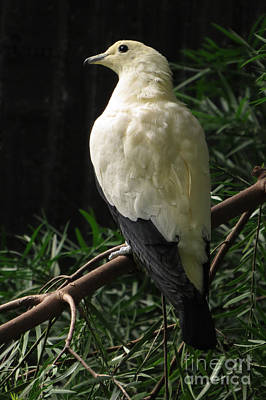 Photograph - Pied Imperial Pigeon by Frank Townsley