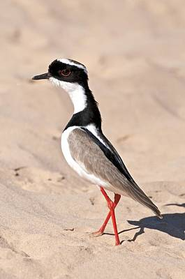 Lapwing Wall Art - Photograph - Pied Plover On Sand by Science Photo Library