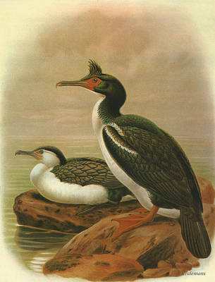 Chatham Painting - Pied Shag And Chatham Island Shag by Dreyer Wildlife Print Collections