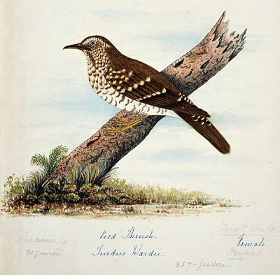 Thrush Wall Art - Photograph - Pied Thrush Female by Natural History Museum, London/science Photo Library