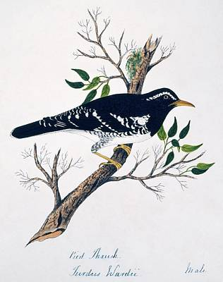 Thrush Wall Art - Photograph - Pied Thrush Male by Natural History Museum, London/science Photo Library