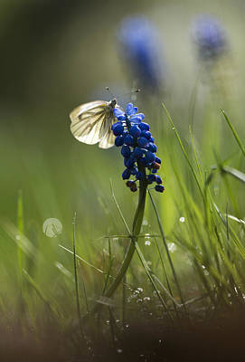 Blue Grapes Photograph - Pieris Napi Butterfly On A Blue Flower by Jaroslaw Blaminsky