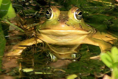 Photograph - Pig Frog by Ira Runyan