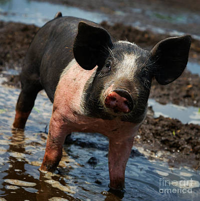 Animals Royalty-Free and Rights-Managed Images - Pig in the mud by Nick  Biemans